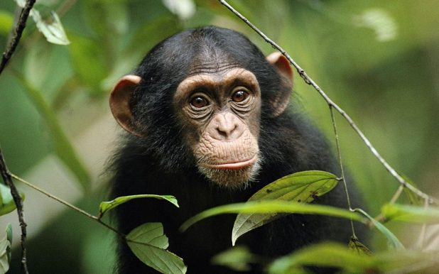 Chimpanzee-images-Windows-8-Wallpaper-animalplanethd.com_