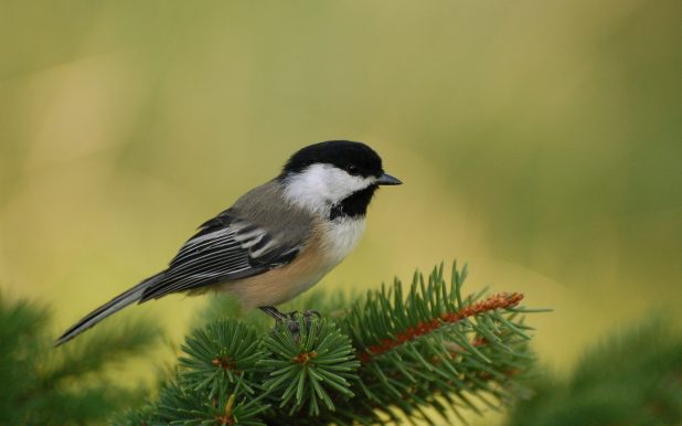 chickadee-perch-1680-1050-4431