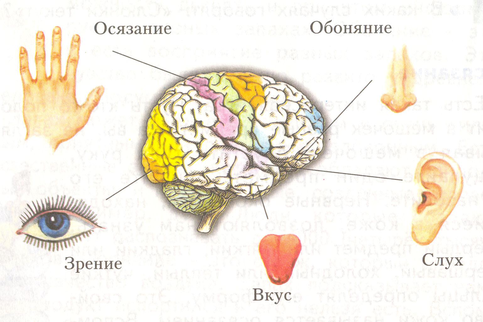 Гистология органы чувств реферат 4187
