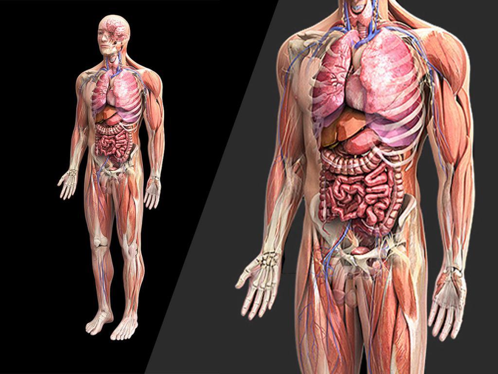 Человек биология органы картинки